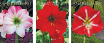 "Amaryllis Bulb Kit Available in 3 colors Produces 6""-8"" flower Includes 24-26 cm. bulb, pot with saucer, planting medium (7174493) product image."